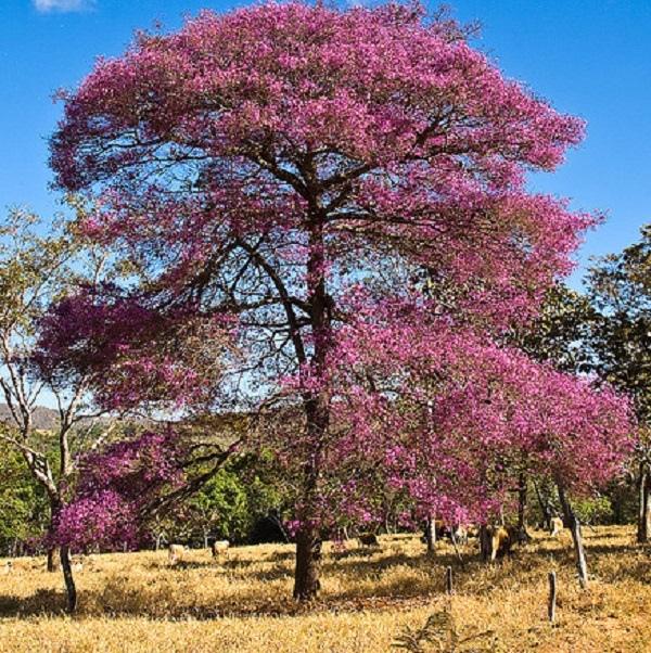 Rosewood-tree-in-bloom